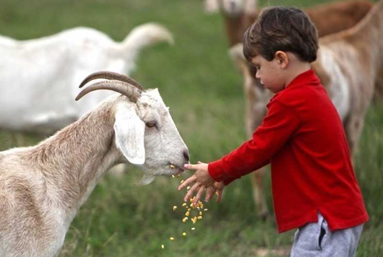 little boy feeding goat