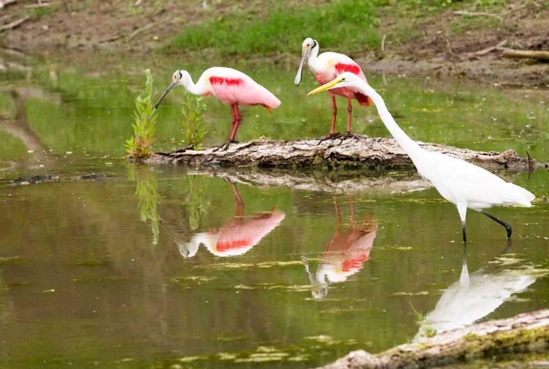 Roseate spoonbills and birds on pond