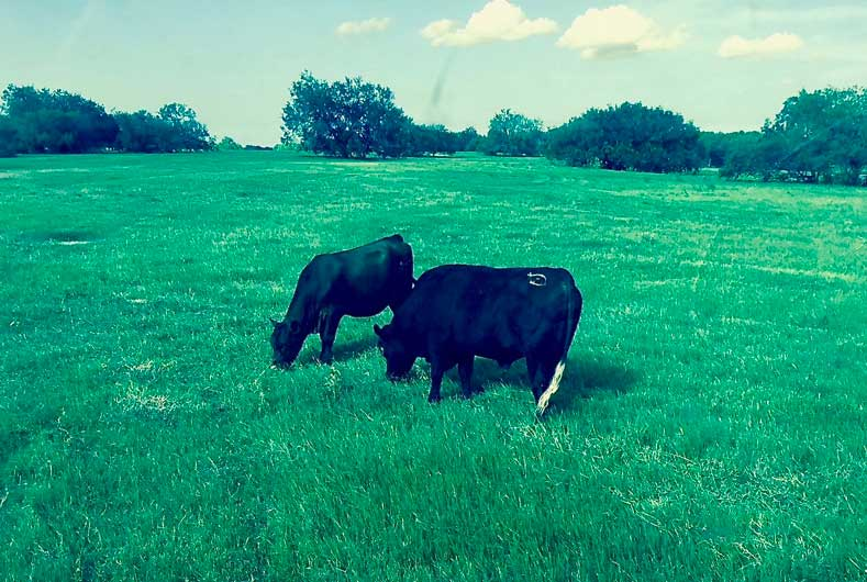 cows in the pasture eating grass